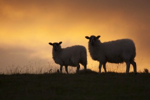 sheep in sunset IMG_9295c